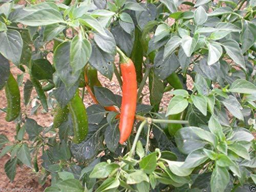 Fash Lady Harvester Bush Bean 1/4 lb-Ca. 280 Samen - (53 Tage) Biologisch, unbehandelt