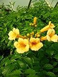 Trompetenblume Flava, Campsis Flava 80 cm hoch im 3 Liter Pflanzcontainer