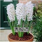 cultivo hidropónico suelo jacinto plantas de flor Plantas de interior semillas 3 semillas
