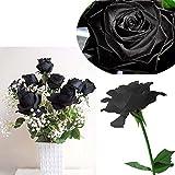 Bluelover 20 Schwarze Rose Blume Rose2 Samen
