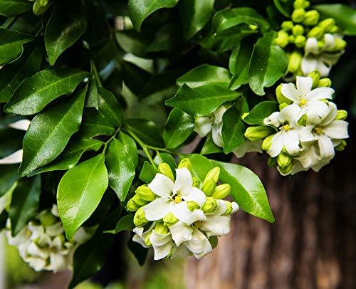 Orangenjasmin 5 Samen, Murraya Paniculata, Orangen-Jasmin
