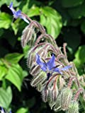 Borretsch (Borago officinalis) Gurkenkraut Blauhimmelstern Wohlgemutsblume