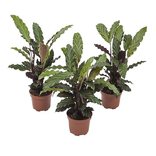 BOTANICLY | 3 × Zimmerpflanze - Korbmarante | Höhe: 32 cm | Calathea Rufibarba
