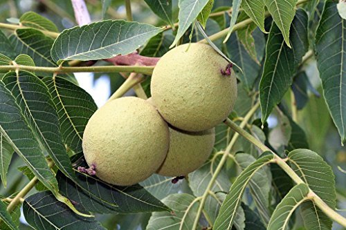 Tree Seeds Online - Juglans Nigra. Negro Nogal 3 Semillas - 5 Paquetes