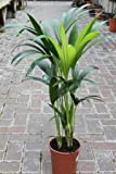 Indoor Plant -House or Office Plant -Howea forsteriana Kentia Palm - Paradise Palm 95cm tall.