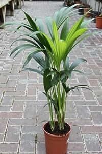 Zimmerpflanze für Wohnraum oder Büro – Howea Forsteriana
