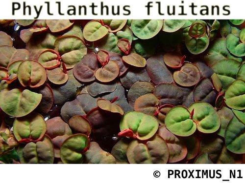 root-red-floater-phyllanthus-fluitans-live-aquarium-plant