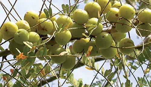 Portal Cool Phyllanthus Emblica, Stachelbeere Baum, 20 Samen