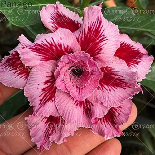 Pinkdose 2pcs Fiore rosa del deserto vero Adenium obesum bonsai fiore pianta piante grasse perenni piante in vaso al coperto per il giardino di casa: 12