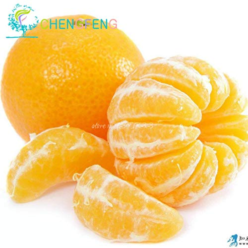 Shopmeeko 50 stücke Organische orange Pflanzen Mini Topf Essbare Obst Pflanzen Bonsai Top Qualität Klettern Orangenbaum Pflanzen: Rot