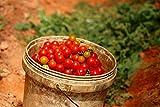 Tomaten 'Sweetie' 20 Samen, Kirchtomaten,Super süß