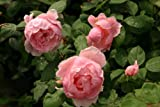 Brother Cadfael® - Container Rose im 5 ltr. Topf