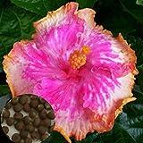 Jiacheng29100Exotic Coral Blume Hibiskus Samen Garten-Giant Home Garden Pflanze, Rose, Einheitsgröße