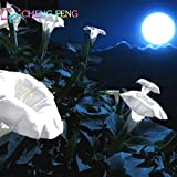 20 pc rari Semi Moonflower Garden notte fioritura Bello Fiore bonsai in Jarden decorazioni Seed Pot Plante *