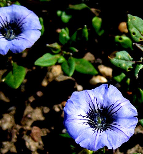 Portal Cool 60: 20/60 Samen Blumen Nolana humifusa Kleines Blue Bells