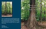 Die Stieleiche (Quercus robur L.) slawonischer Herkunft in Westfalen und am Niederrhein: Einführung, Anbau und Verhalte