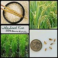 Portal Cool Semillas de Asia 100+ Orgánica de arroz (Oryza sativa) comestible de arroz aromático de grano