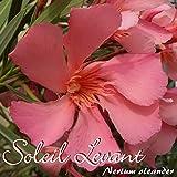 Oleander 'Soleil Levant' - Nerium oleander - Größe C01