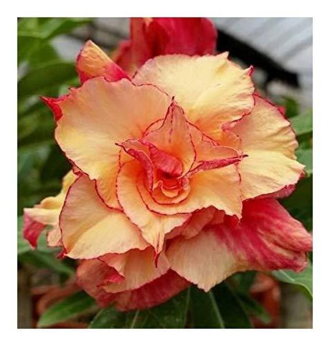 Adenium obesum Morning Star - Rose du désert - Faux baobab Morning Star - 3 graines