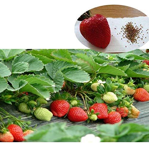 Etophigh 500 Teile/Paket, Strawberry Seed Kit Mehrjährige Kräuter Samen von essbaren Obstgarten Dekor, sowohl drinnen als auch draußen