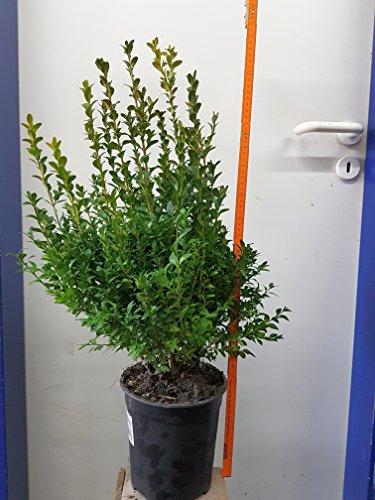 10-articoli-piante-da-siepe-bosso-buxus-sempervirens-alta-70cm-dimensioni-del-piatto-19cm-sempreverd