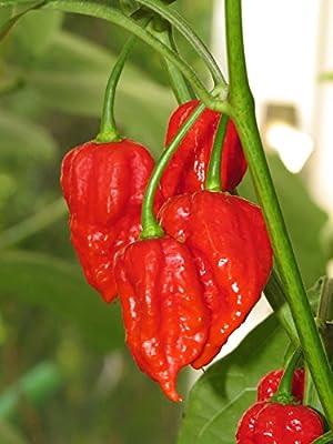 Chili Samen - 10 Stück - Dorset Naga von Tomaten, Chilis und Auberginen bei Du und dein Garten