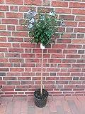 Hibiscus syriacus Blue Bird - Stamm, Garteneibisch, winterhart, Höhe: 120-130 cm + Dünger