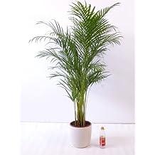 goldfruchtpalme 140 cm chrysalidocarpus lutescens areca palme zimmerpalme