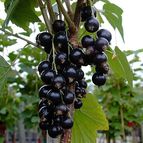 Müllers Grüner Garten Shop Ometa schwarze Johannisbeere lange süße Trauben kräftiger Fußstamm ca. 50 cm Stamm im 3 Liter Topf