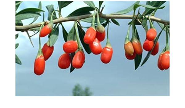 Lycium Barbarum Instant Success Goji Berry Fruit Bush Plant