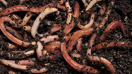 Wormcity Asticots de compost 250g