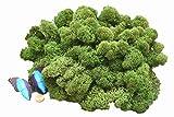 Muwse Islandmoos 1AV 100g Tannengrün vor-gereinig, präpariert & gefärbt! Weich, lichtecht & haltbar! Unser günstiges Deko-moos Floristik-moos Bastel-moos