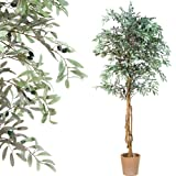 PLANTASIA® Olivenbaum