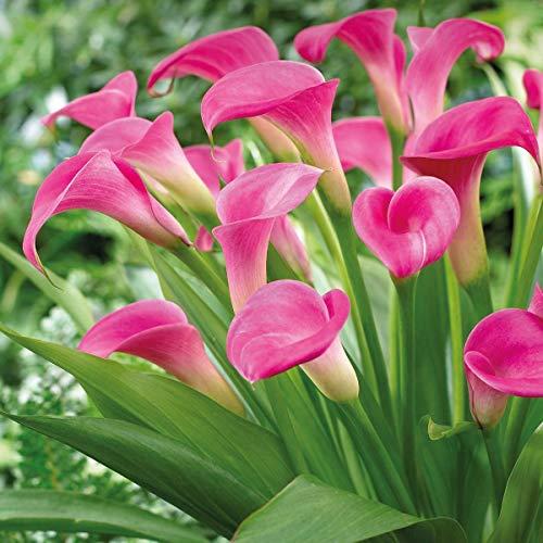 KEBOL Calla 'Garnet Glow' | auch als Zimmerpflanze | pinke Blüten | 1er Pack