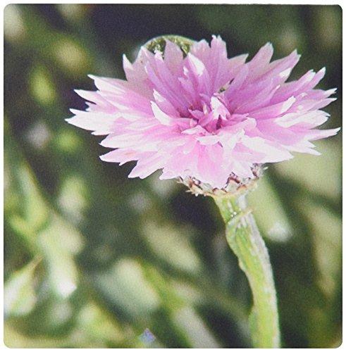 3drose LLC 20,3x 20,3x 0,6cm Maus Pad, A Beautiful Close Up of a Pink Blume mit einer Salbei Grün Rückseite Boden (MP _ 48289Schleifscheiben _ 1) (Salbei Pad)