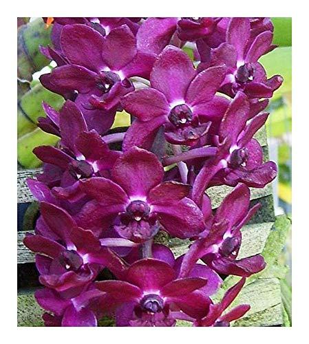 Rhynchostylis gigantea - orchidées - 100 graines