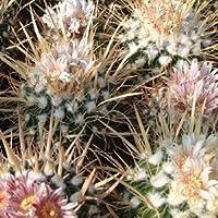 Echinofossulocactus erectocentrus seeds