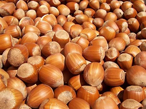 Portal Cool Türkisch Hazelnut - Baum-Hasel - 5+ Seeds - Erbstück! - Hasel-baum