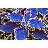 semillas azul coleo 100 / bag, plantas con flores hermosas, balcón en maceta bonsai color del encanto