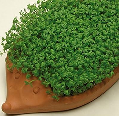 Kresse Kressesamen Einfache 500 g frische, reine Ware