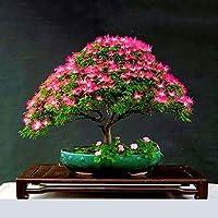 TOPmountain Hermosas semillas de árboles de acacia 20 piezas Semillas de flores de plantas Semillas de flores de Bonsai para el hogar