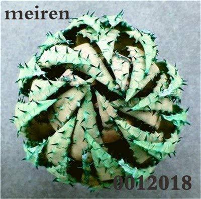 Plentree Pacchetto semi: 100 pezzi Succulente Aloe Bonsai Rare Polyphylla rotazione Aloe Vera regina Bonsai Piante grasse per la casa e amp; Giardino: 16