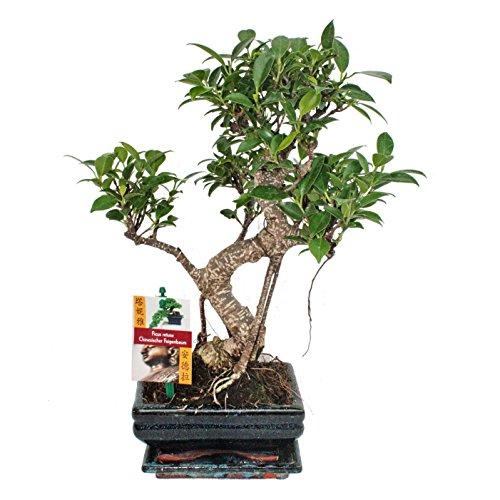 Bonsai Chinesischer Feigenbaum - Ficus retusa - ca. 6 Jahre
