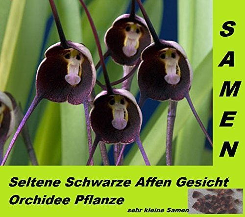 10X Orchidee Samen Blumen  Saatgut  Affe gemischt Gesichtb Affe Monkey Face