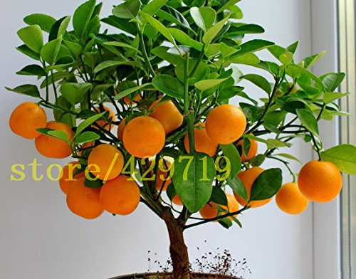 20 pcs bonsaï graines oranges NO OGM arbre mini bonsaï Balcon Patio en pot Arbres fruitiers Kumquat Graines Tangerine Citrus