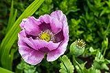 Asklepios-seeds® 1000 Samen Papaver somniferum Hungarian Blue, Mohn Schlafmohn Saatgut