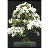 Tropica Lot de 30 graines de bonsaï cerisier de Sainte-Lucie (Prunus mahalep)