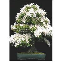 Tropica Bonsai roca de cereza (Prunus mahalep) - 30 semillas