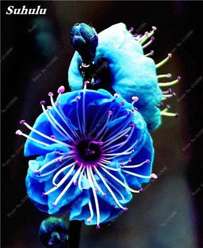 10 Pcs Plum Graines de fleurs, hiver Blooming Fragrant Arbuste Fleur froide Hardy plante, pot intérieur/extérieur Graine Famille Facile à planter 5