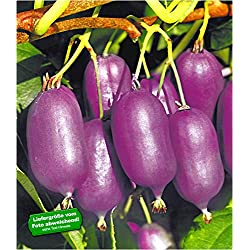 BALDUR-Garten Kiwi Ken's Red (inkl. Befruchter) 2 Pflanzen Actinidia arguta Kiwipflanze winterhart